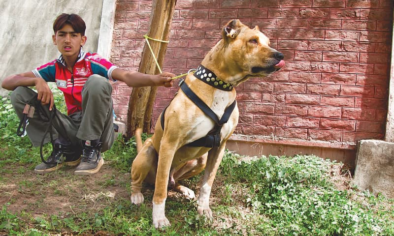 SOCIETY: WILL THE DESI DOG HAVE ITS DAY? - Newspaper - DAWN COM