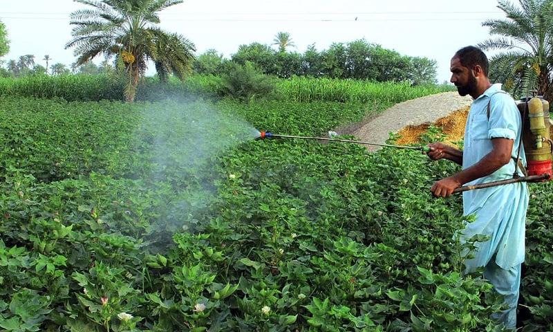BAHAWALPUR: A farmer sprays pesticide on cotton crop.—APP