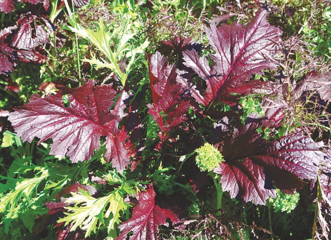 Colourful giant red mustard and frilly mustard mizuna | Photos by the writer