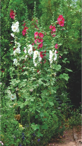 Hollyhock towers