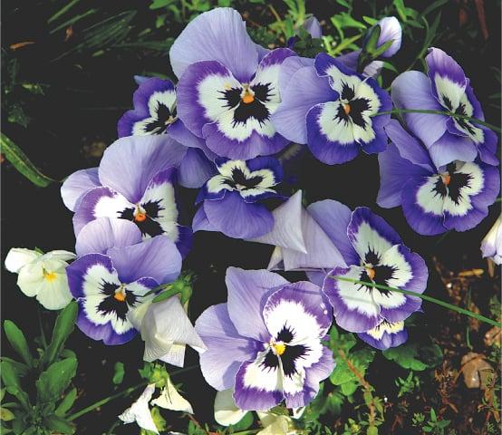 Cool Violas