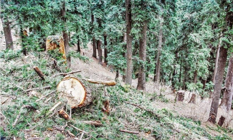 مالم جبہ کے قریب پہاڑوں سے درخت کاٹے جارہے ہیں