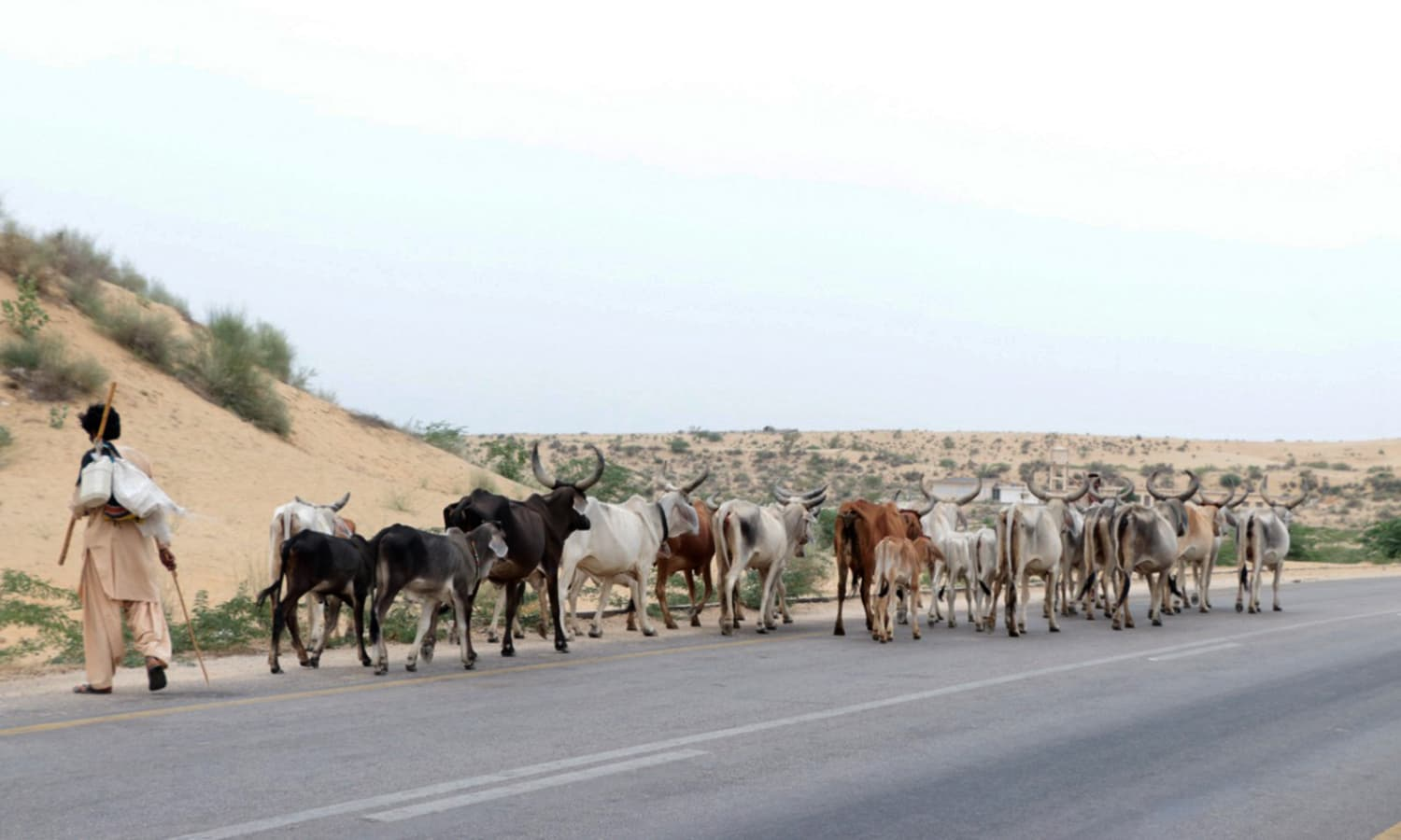 A man migrating to barrage areas in search of water with his cattle.