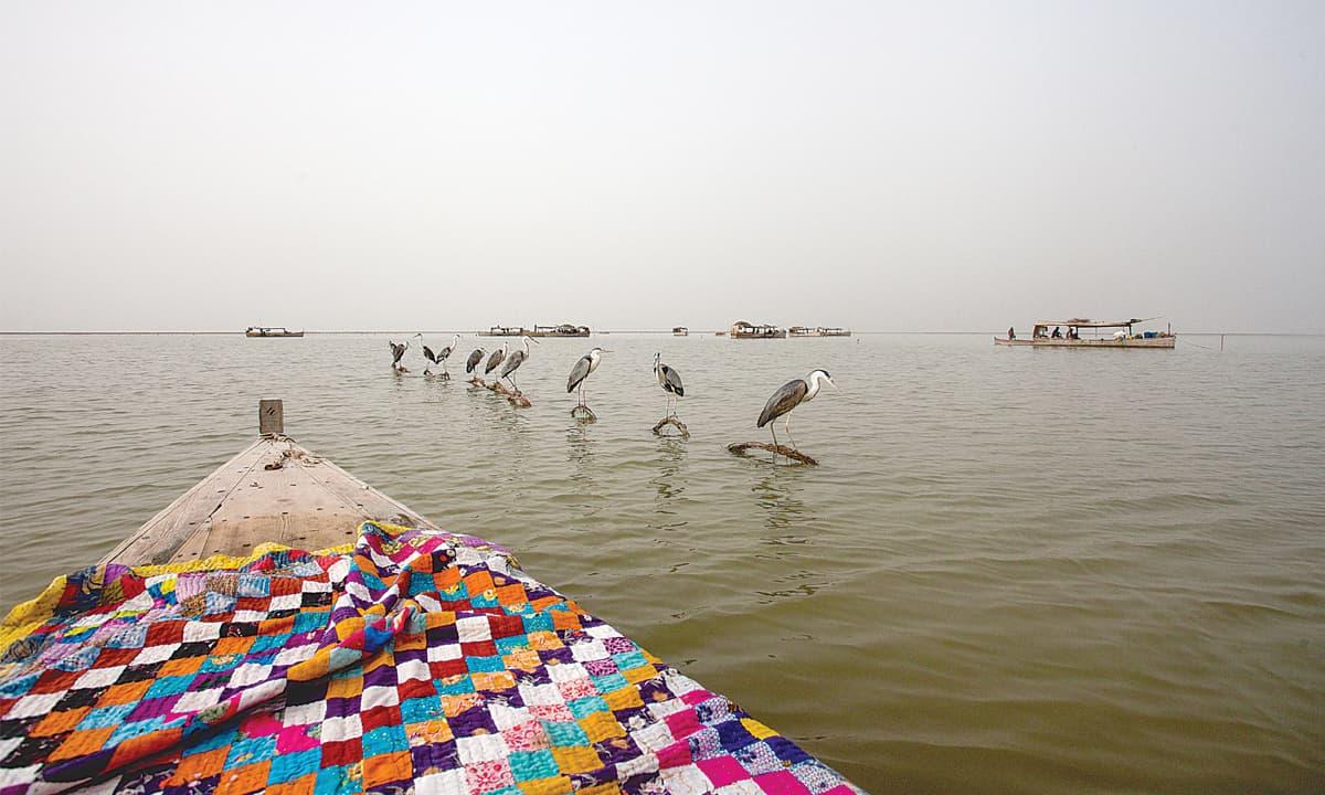 Siberian birds, kept as pets, in Manchar Lake