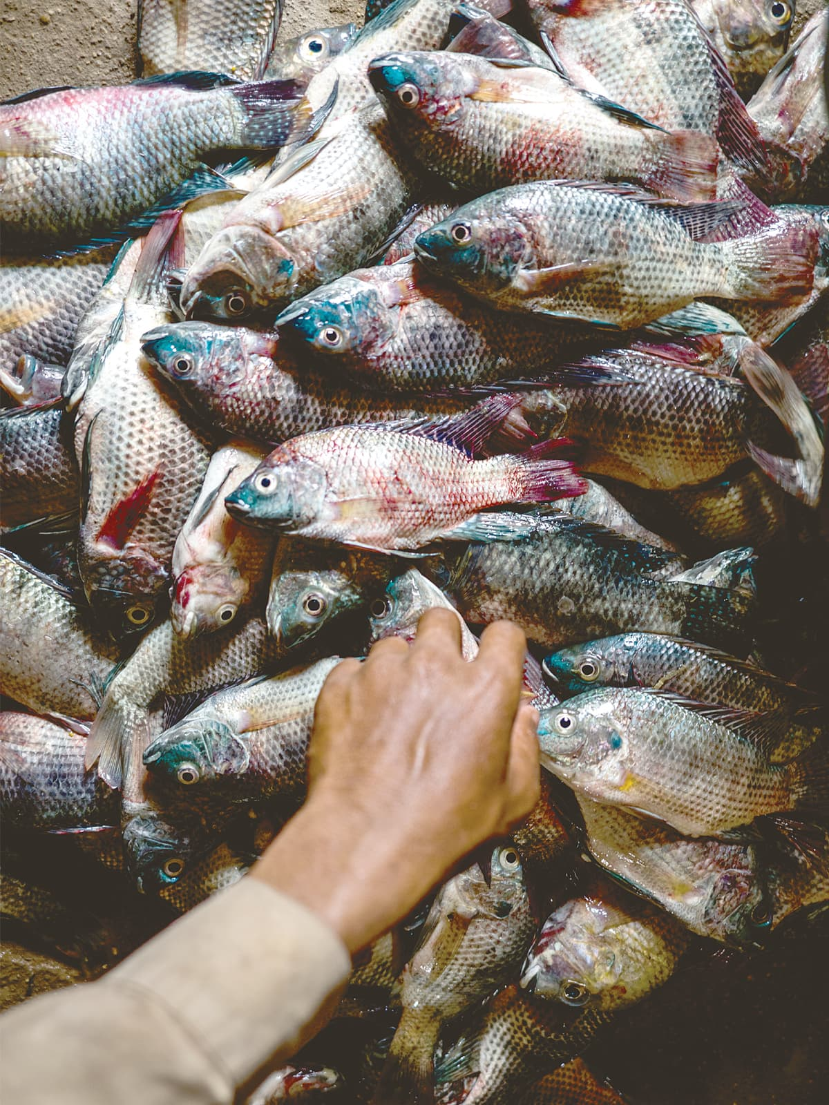 The variety of fish in Manchar Lake has shrunk to just Pomfret