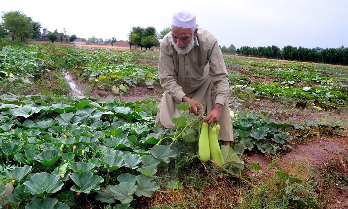 — ایک کسان پشاور میں اپنے کھیت سے لوکی کی کاشت کر رہے ہیں — شہباز بٹ، وائٹ اسٹار