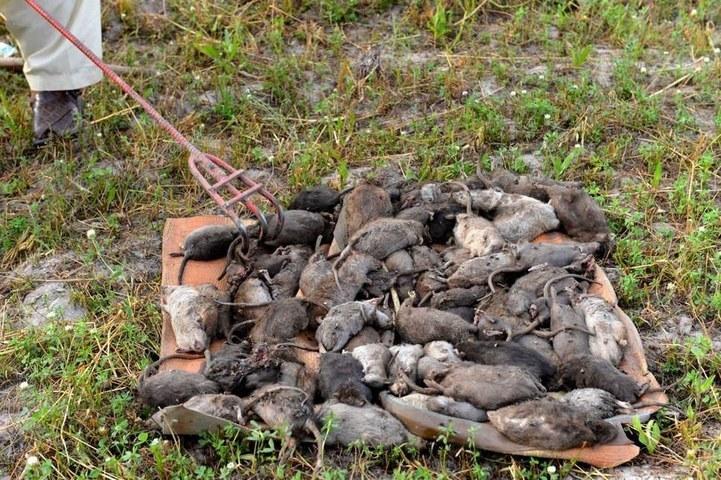 پشاور میں ایک ملازم مردہ چوہوں کا ڈھیر سمیٹ رہا ہے —فوٹو : اے ایف پی