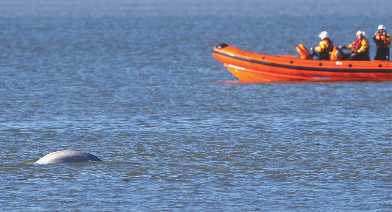 GRAVESEND (Britain): A beluga whale swims in the River Thames on Wednesday.—Reuters
