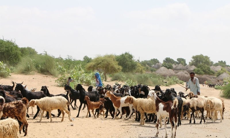 This file photo shows livestock in Thar.