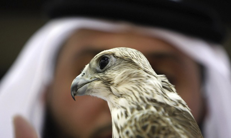 Experts question govt's decision to allow export of 150 falcons to UAE