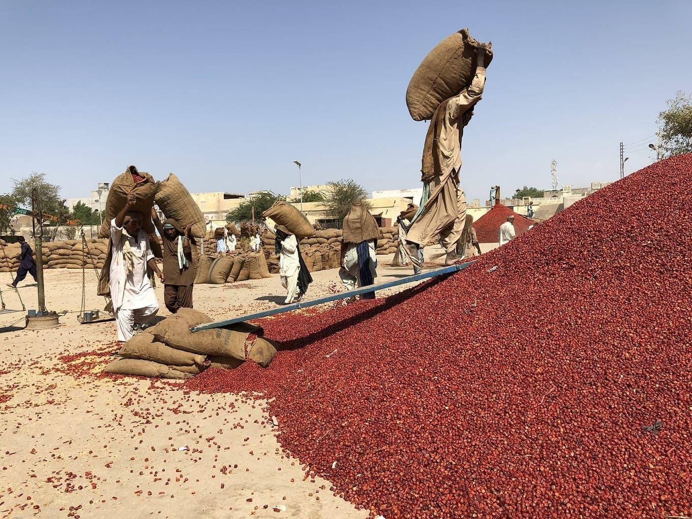 Labourers gather up red chillies on Kamal Khan Noonwani's land (Image by Zofeen T. Ebrahim)