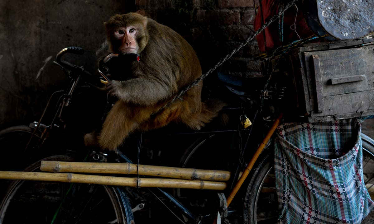 A monkey belonging to Bahar Ali's nephew | Photos by Murtaza Ali, White Star