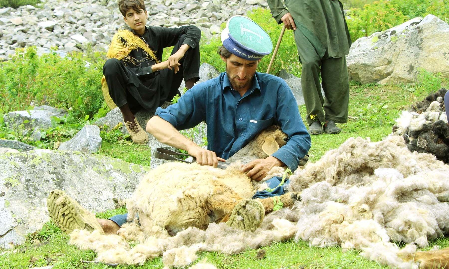 ایک گڈریا کھلے میدان میں بھیڑ سے اُون الگ کرنے میں مصروف ہے—تصویر امجد علی سحاب