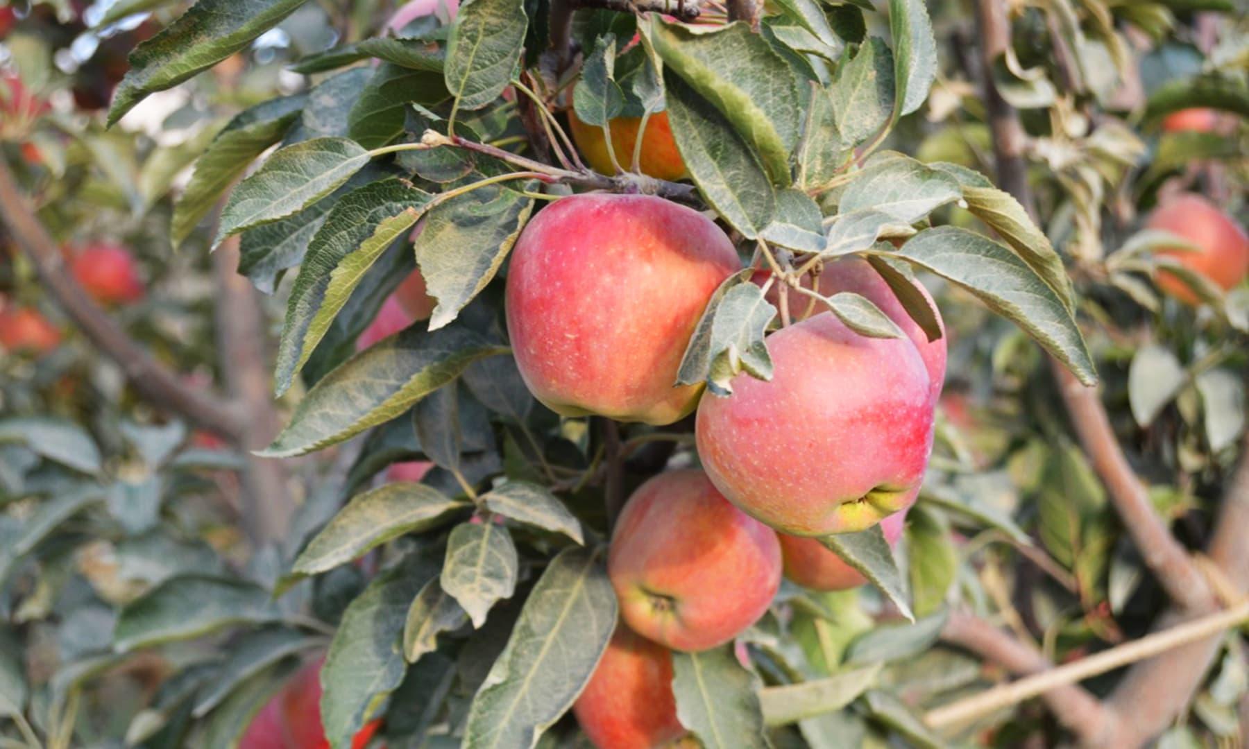 سیب کے باغات —تصویر حفیظ اللہ شیرانی