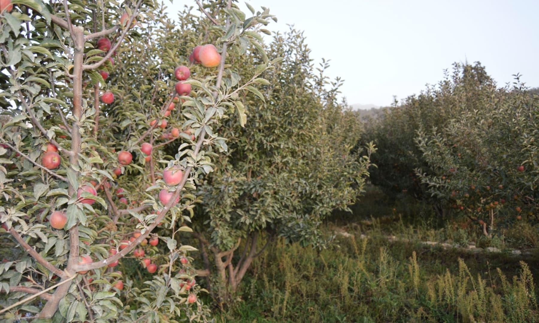 سیب کے باغات—تصویر حفیظ اللہ شیرانی