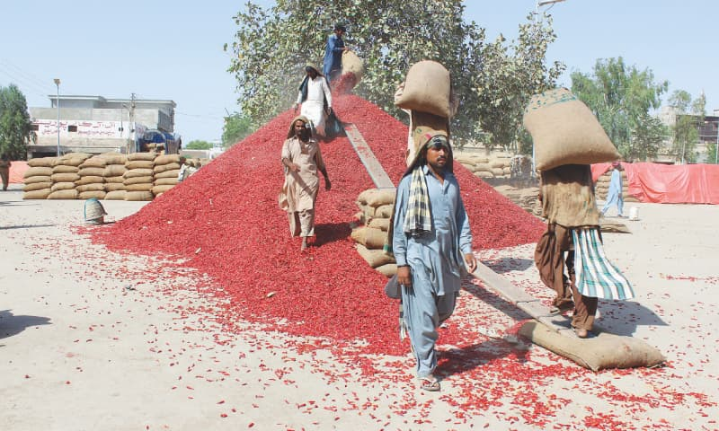 EYES watering and sneezing, these men empty the bought chillies to form a pile. They are paid a paltry Rs15 for a sack which is first emptied and then filled again after being weighed.—Photo by writer