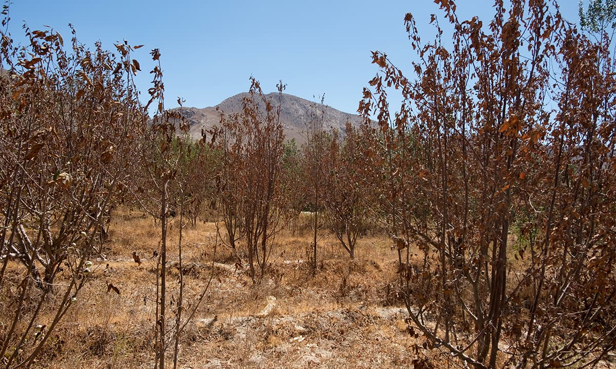 A dry orchard in Ziarat | Maqbool Ahmed