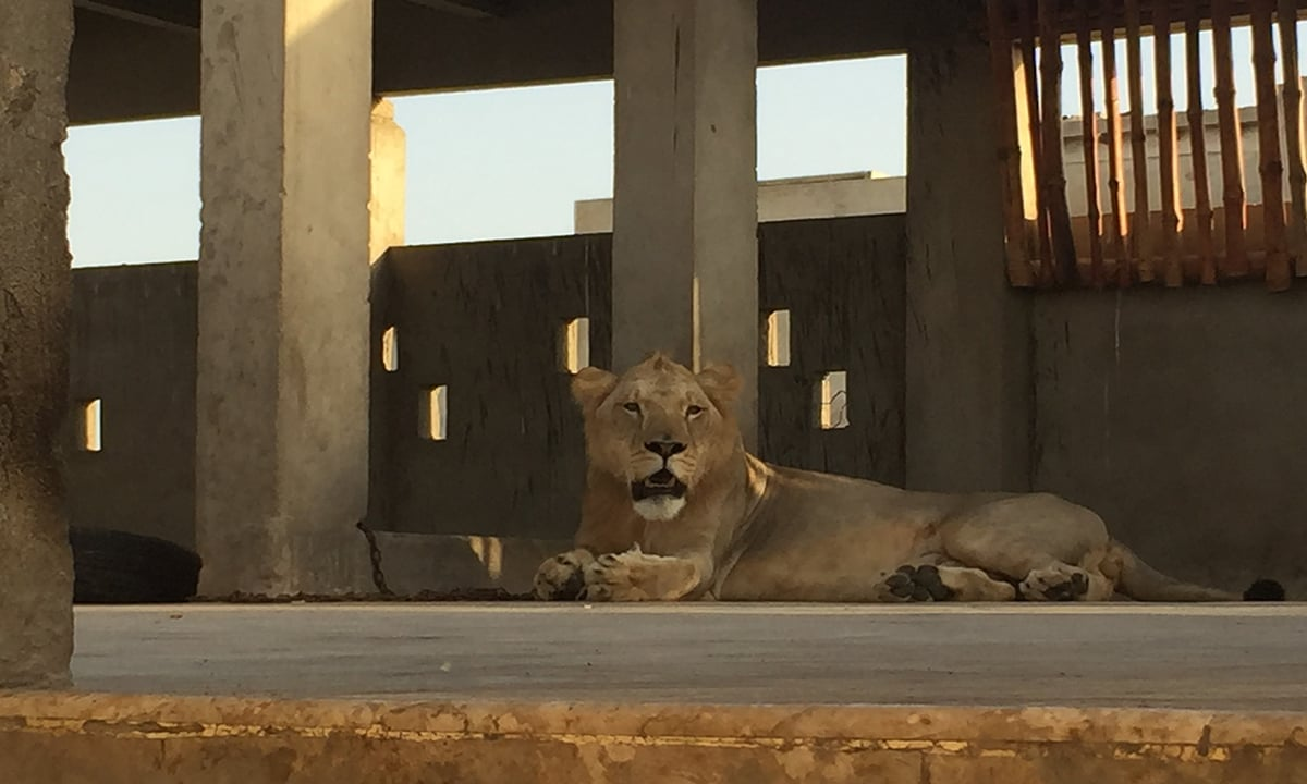 Simba chained in his enclosure on Hamza Hussain's rooftop in Karachi. Photo credit: Haniya Javed