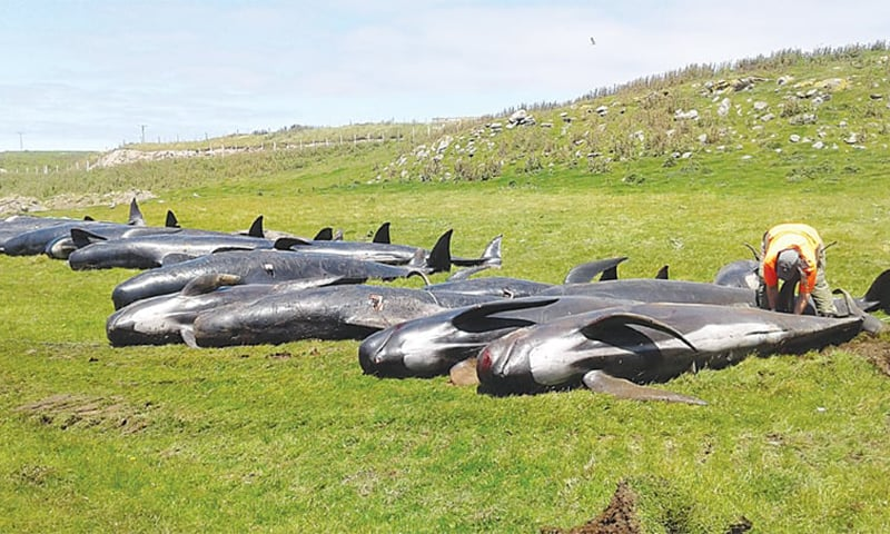 Dead pilot whales are seen at the coast of Chatham Island on Friday. — Reuters