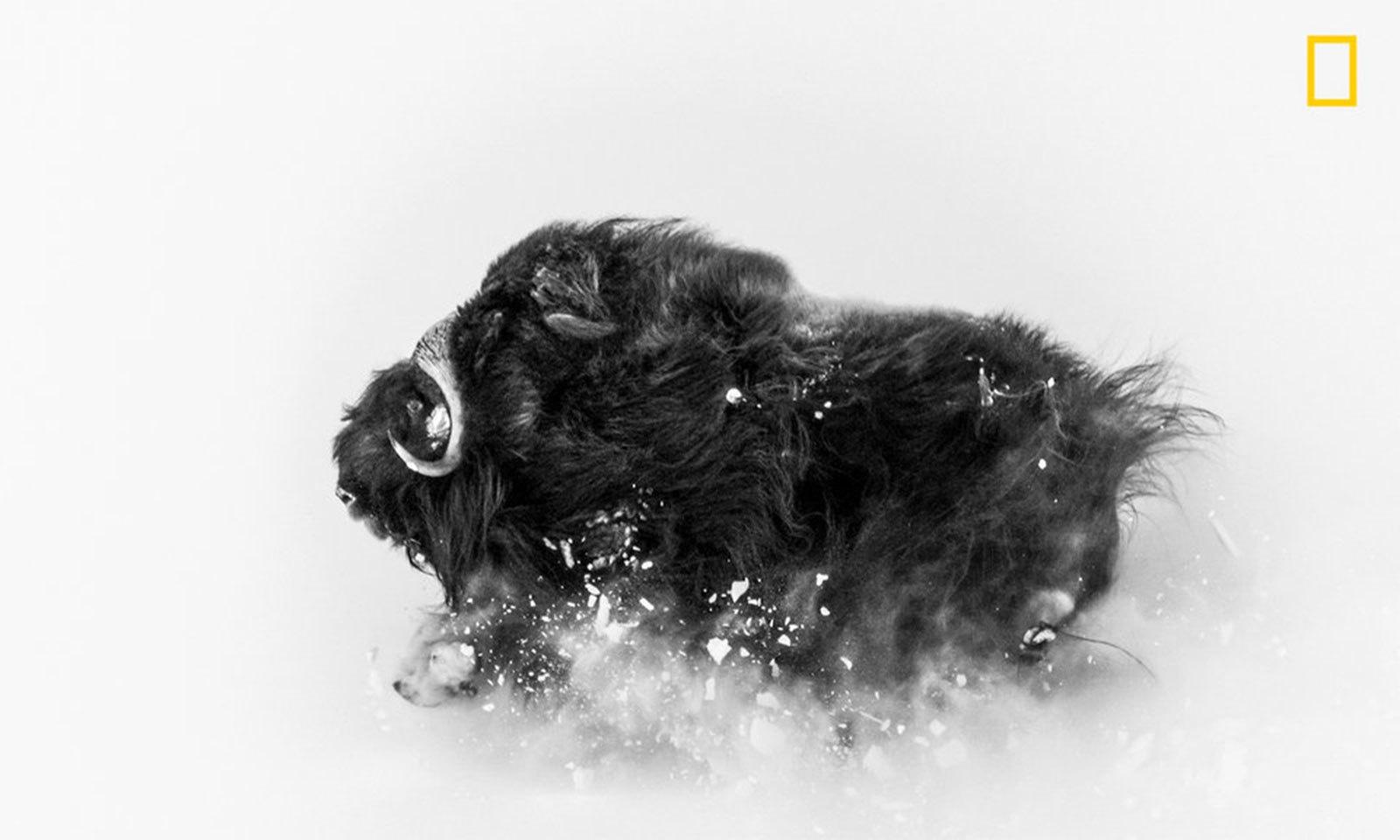فوٹو بشکریہ جوناس بائر/ نیشنل جیوگرافک