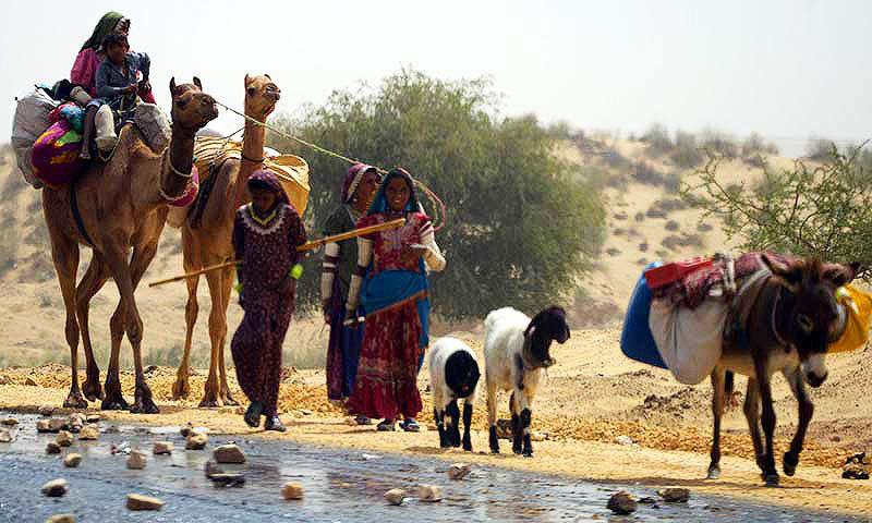 تھر پارکر کی خواتین پانی اور دیگر اشیاء مویشیوں پر لاد کر لے جارہی ہیں — فائل فوٹو
