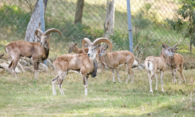 Urial and chinkara at the mini zoo. — Photos by Tanveer Shahzad