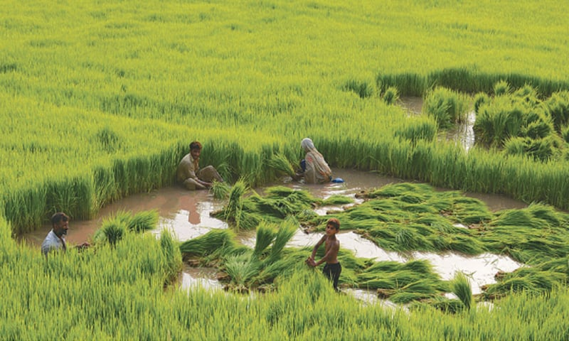 INSUFFICIENT investment in agriculture R&D has resulted in sub-optimal yields and a lower-than-potential productivity growth curve of basmati rice varieties.—White Star