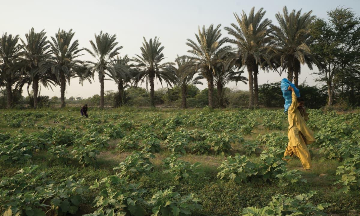 Eggplants at an inorganic farm in Karachi