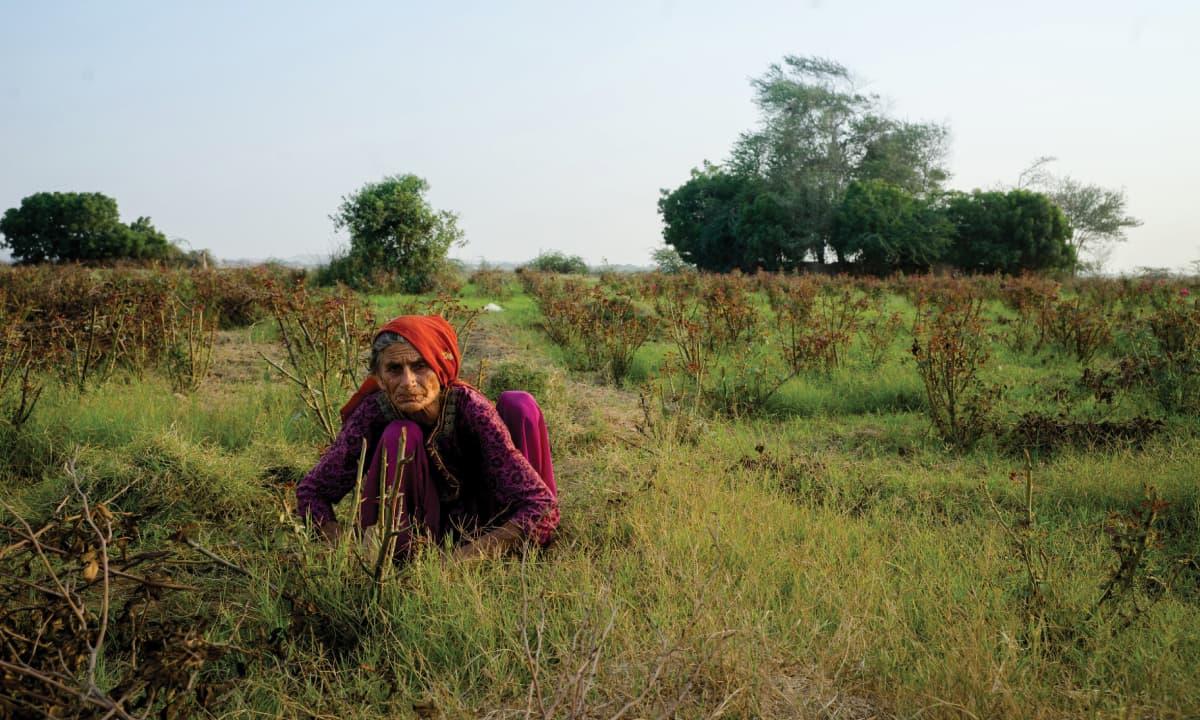 A woman plucking green onions at an organic farm