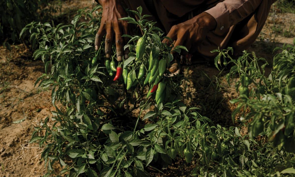Green chillies grown organically