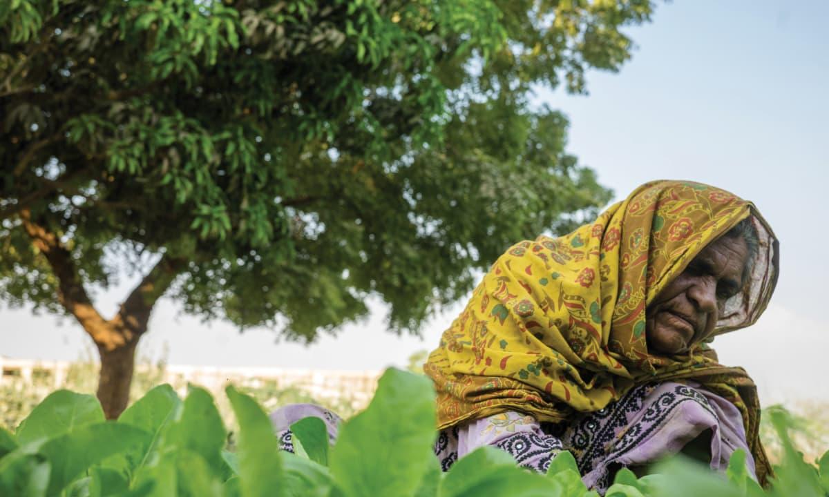 A woman picking spinach at an organic farm