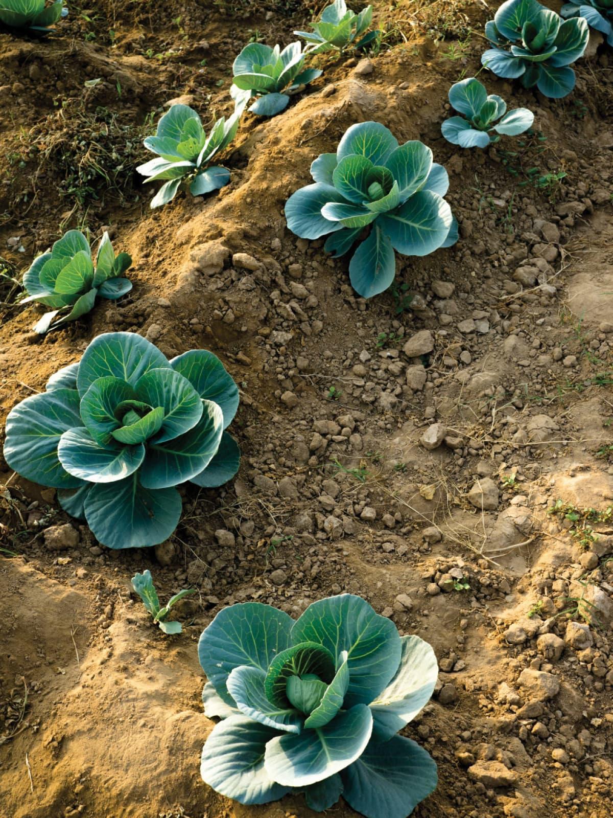 Cauliflower grown using fertilisers and pesticides at an inorganic farm