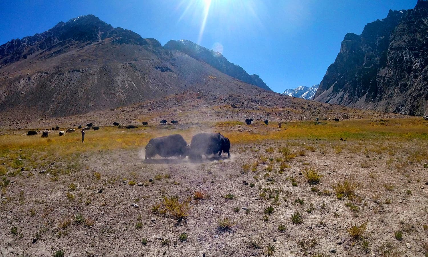 Day 5: Yaks with their horns locked having descended from Dhee Dasth in the backdrop.—All photos by the author