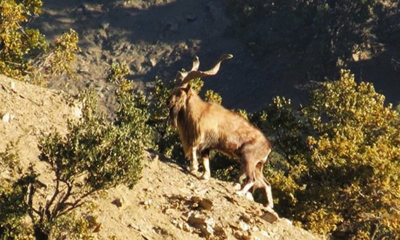 Two hunters illegally hounded a 10-year-old markhor last week in Chitral and escaped after firing at the animal. — Mohammad Niaz/File
