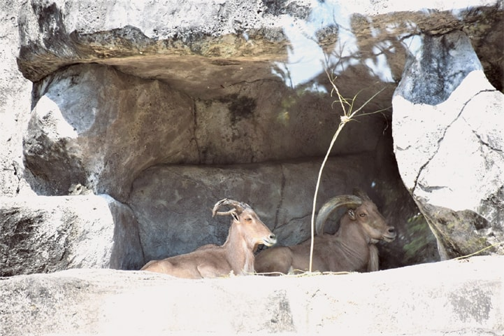 Rest time for some mountain goats