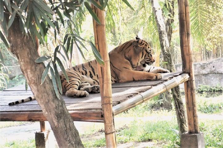 A Sumatran tiger surveying its territory