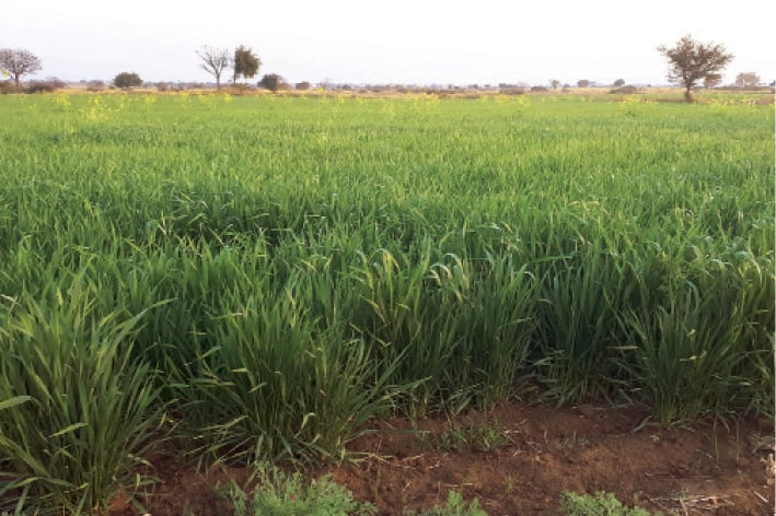 Chakwal farmers expecting bumper wheat crop due to timely