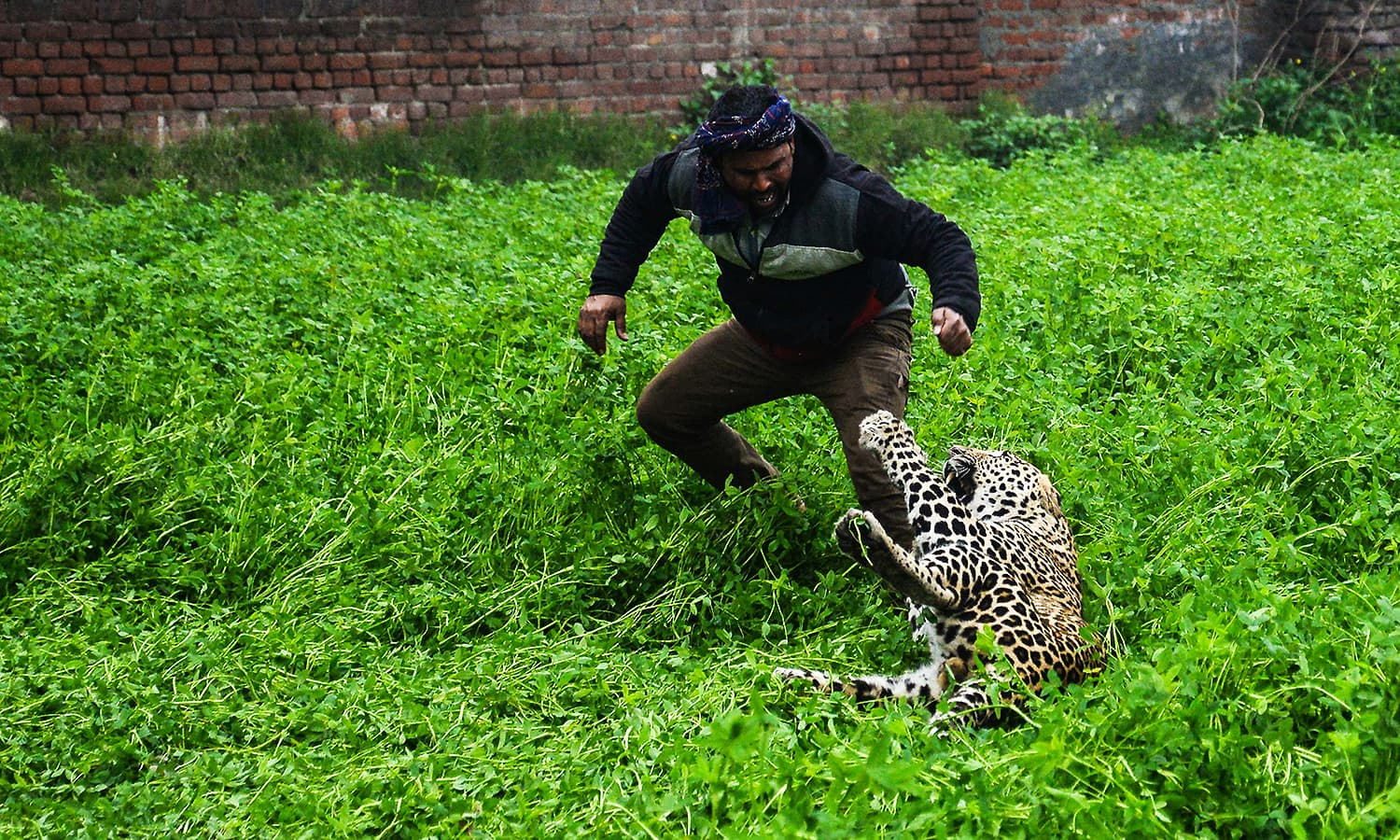 A leopard attacks an Indian man in Lamba Pind area in Jalandhar on January 31, 2019. ─ AFP