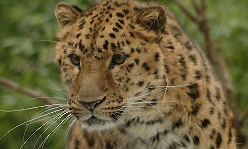 Leopard kills domestic animals in Shahdara village