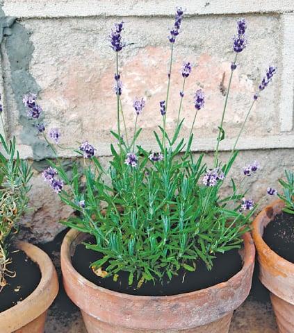 Seed-grown lavender