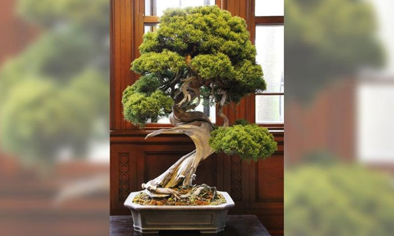 چوری کیا گیا 4 صدیاں پرانا درخت 3 فٹ 2 انچ لمبا اور ڈھائی فٹ چوڑا تھا—فوٹو: سی این این