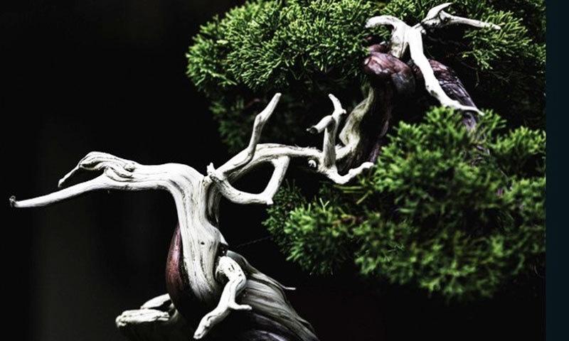 بعض درخت ساڑھے تین فٹ سے زائد لمبے بھی ہوتے ہیں—فوٹو: سی این این