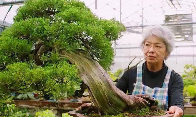 یہ درخت جاپان کے زیادہ تر گھروں کا حصہ ہوتے ہیں—اسکرین شاٹ/یوٹیوب
