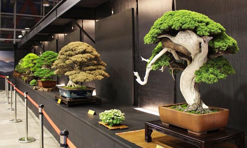 بونسائی درخت دنیا بھر میں شہرت رکھتے ہیں—فوٹو: کول جاپان