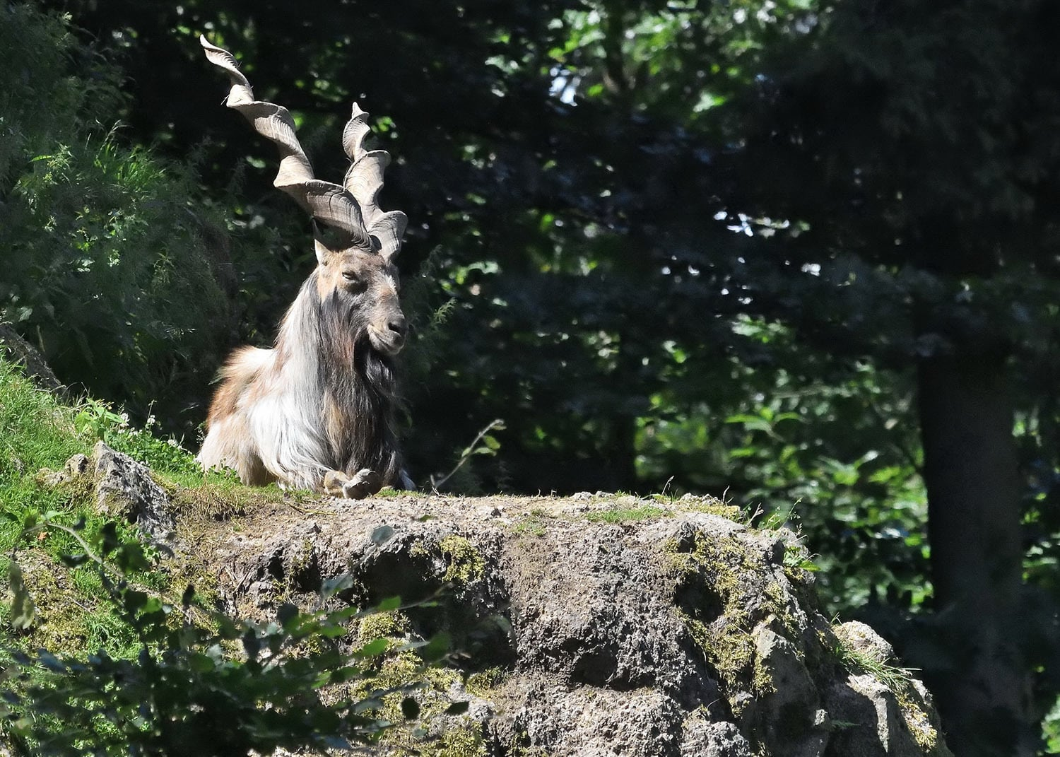 Testimonies from people on the ground indicate that the markhor population is indeed increasing.
