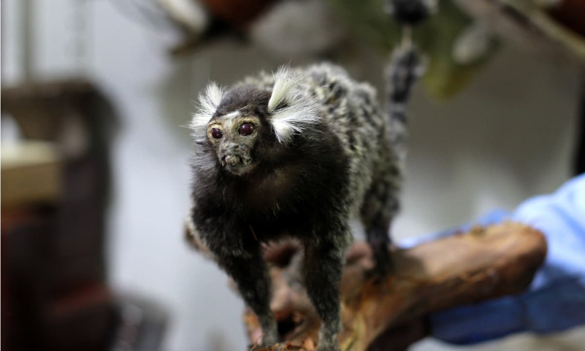 A marmoset displayed in Muhammad Chaman's shop