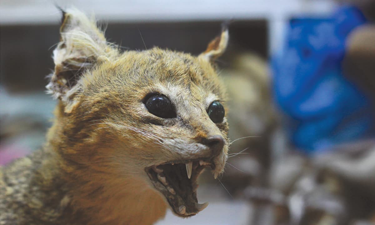 A taxidermied wild cat