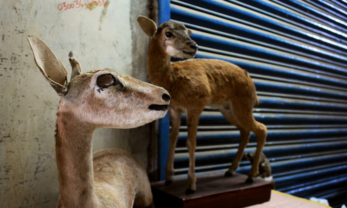 Fawns displayed outside Muhammad Chaman's store in Saddar | Photos by Manal Khan
