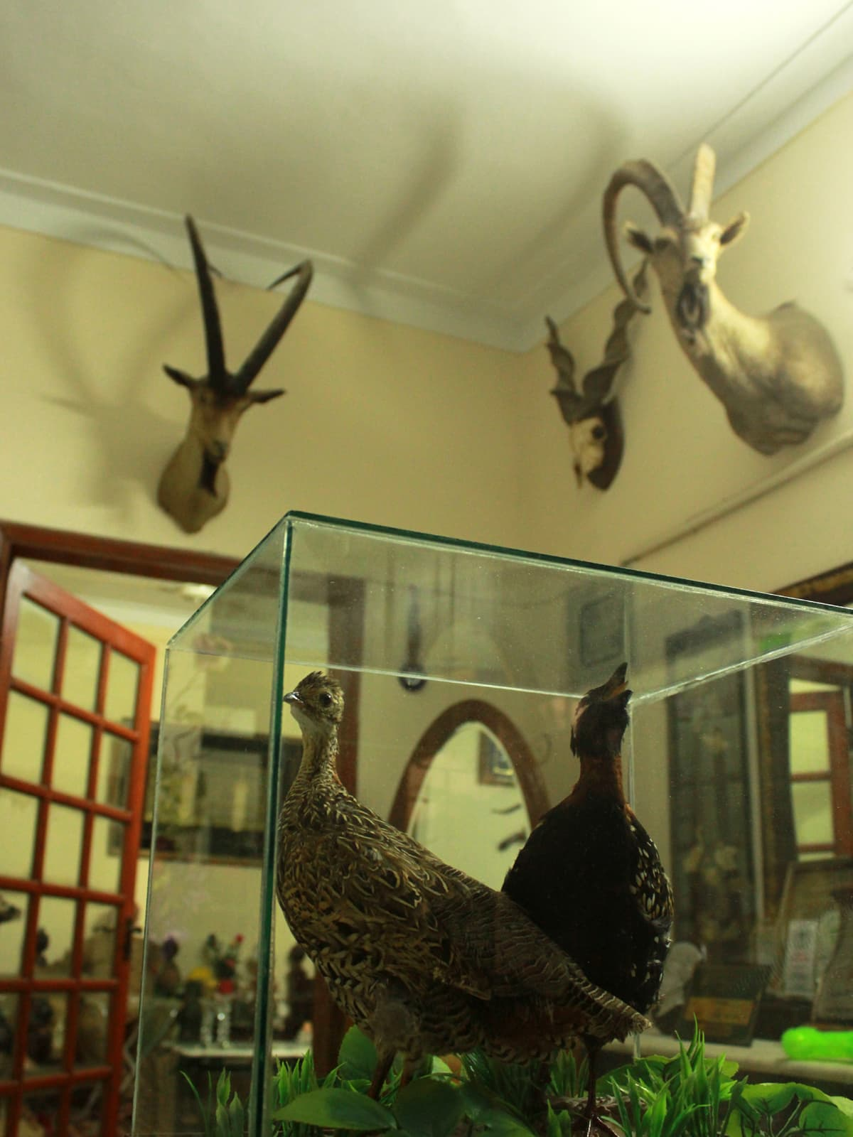 Male and female partridges hunted in Sindh. adorning a government officer's house