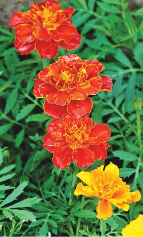 Colourful tagetes deter apids